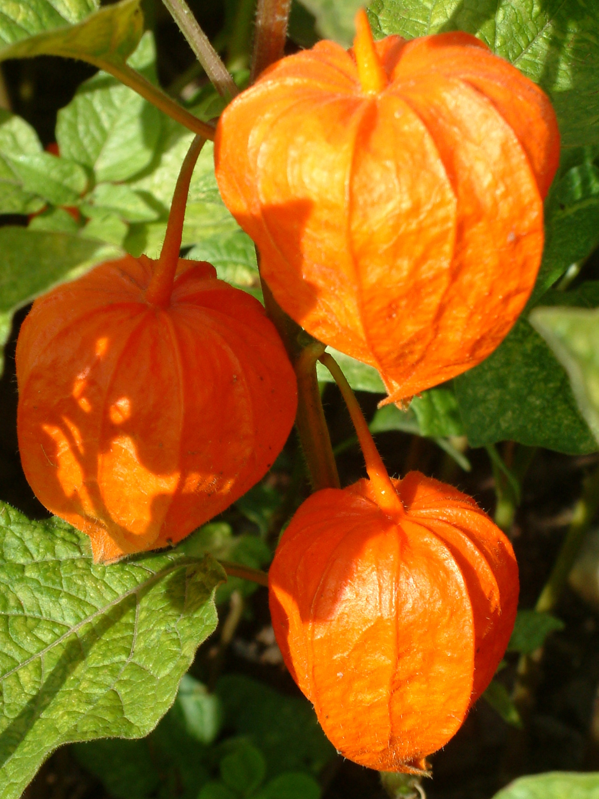 physalis alkekengi var franchetii the beth chatto gardens. Black Bedroom Furniture Sets. Home Design Ideas