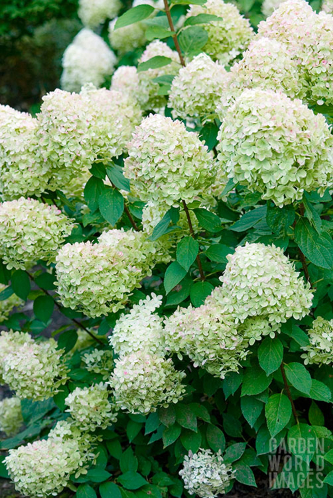 hydrangea paniculata 39 limelight 39 the beth chatto gardens. Black Bedroom Furniture Sets. Home Design Ideas
