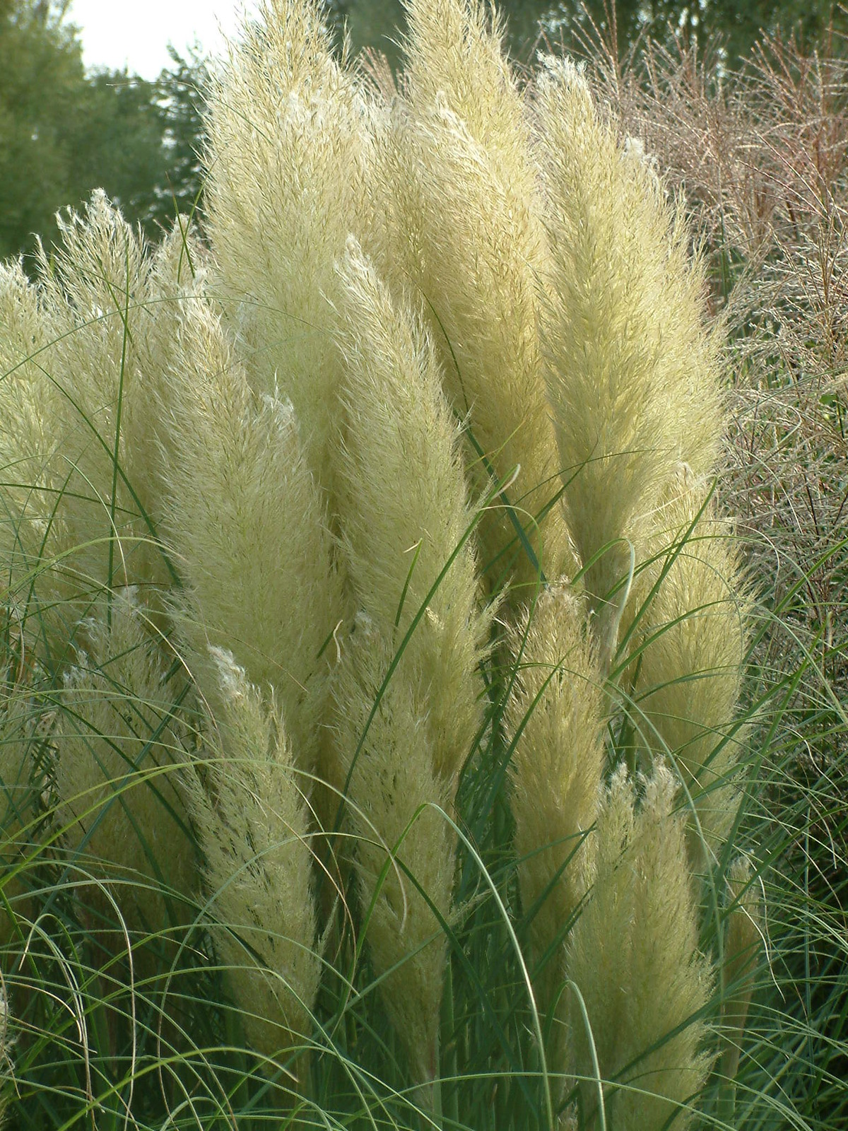 cortaderia selloana 39 pumila 39 the beth chatto gardens. Black Bedroom Furniture Sets. Home Design Ideas