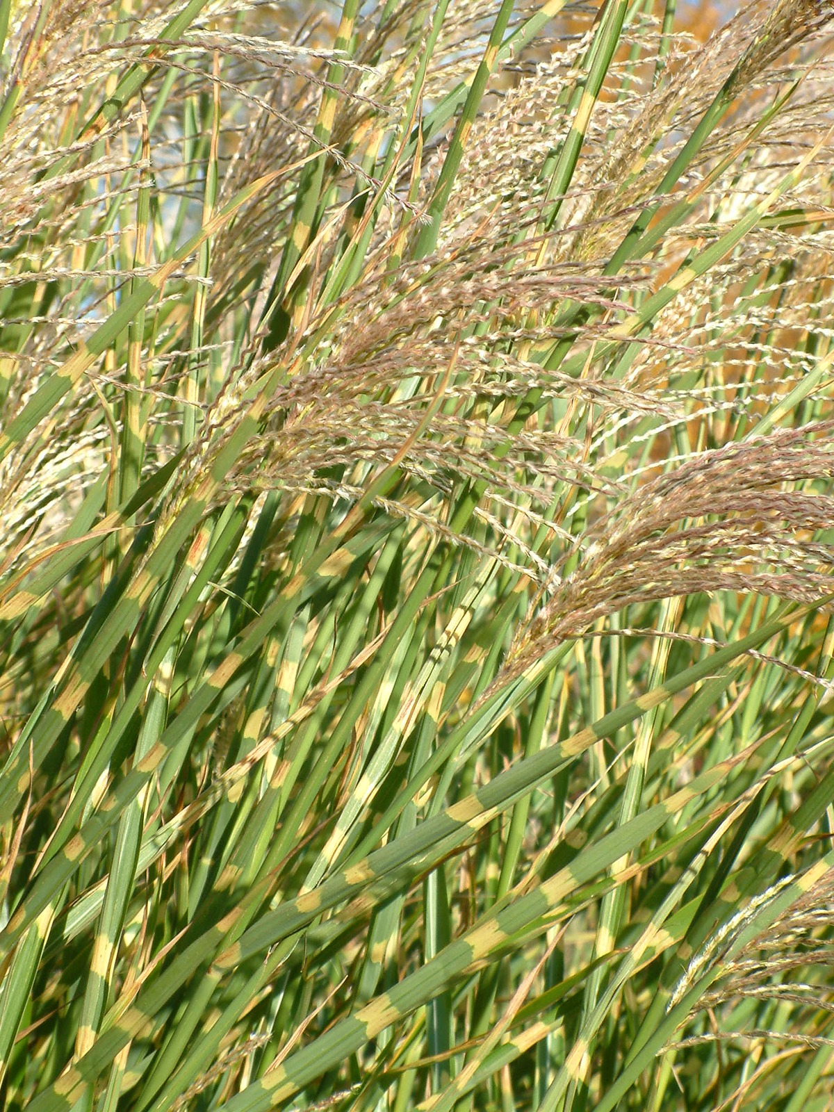 miscanthus sinensis 39 strictus 39 the beth chatto gardens. Black Bedroom Furniture Sets. Home Design Ideas