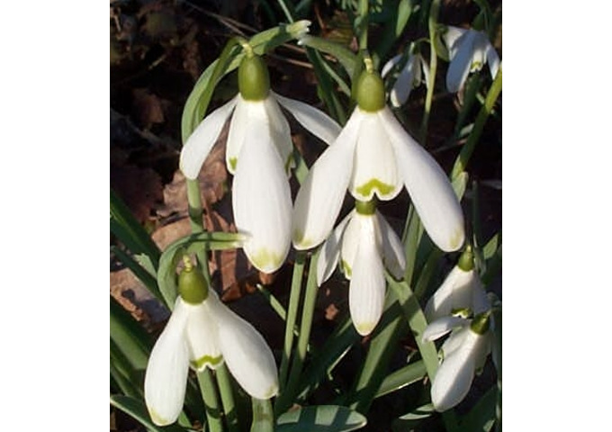 Beautiful Snowdrops at Beth Chatto Gardens