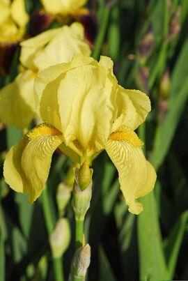 Iris - Cedric Morris cultivars