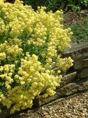 Aurinia (Alyssum)