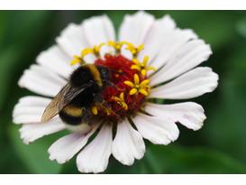 Bumblebee Identification Workshop