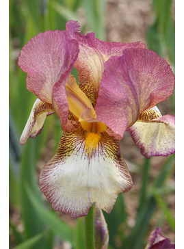 Iris 'Benton Daphne'