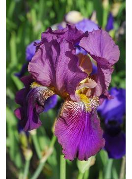 Iris 'Benton Menace'
