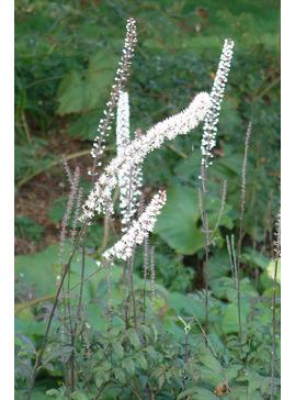 Actaea simplex Atropurpurea Group