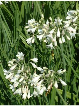 Agapanthus white dwarf hybrid