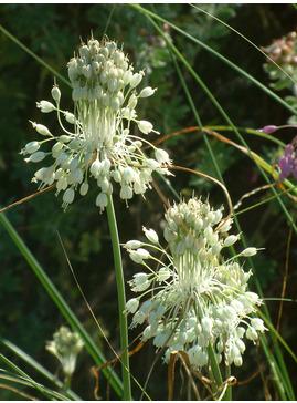 Allium carinatum subsp. pulchellum f. album