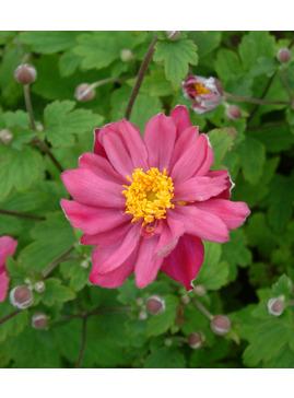 Anemone hupehensis var. japonica 'Pamina'