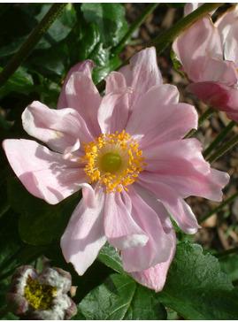 Anemone x hybrida 'Königin Charlotte'