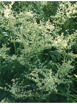 Artemisia lactiflora