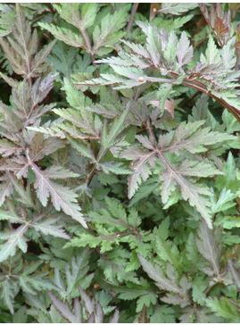 Artemisia lactiflora Guizhou Group