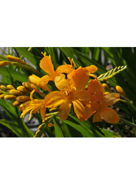 Crocosmia 'Pauls's Best Yellow'