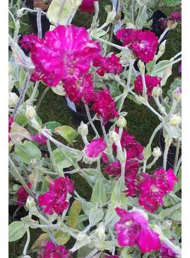 Lychnis coronaria 'Gardeners World'
