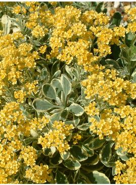 Aurinia saxatilis 'Dudley Nevill Variegated'