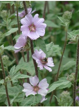 Lavatera 'Lilac Lady'