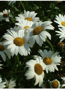 Leucanthemum 'Becky'