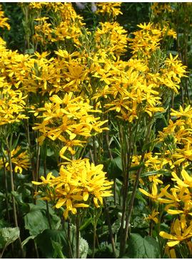 Ligularia dentata 'Sommergold'