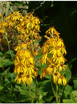 Ligularia 'Gregynog Gold'