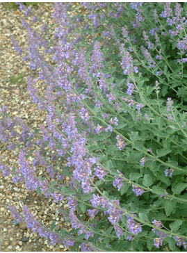 Nepeta 'Six Hills Giant'