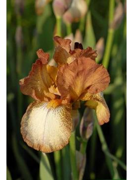 Iris 'Benton Nutkin'