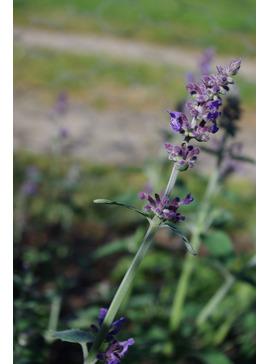 Nepeta leucophylla (aff.)