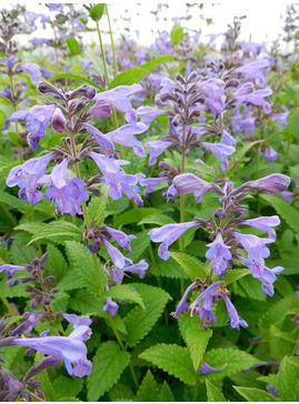 Nepeta 'Weinheim Summer Blues'