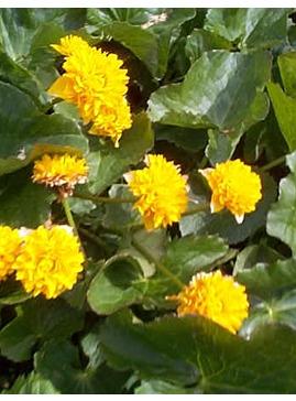 Caltha palustris 'Flore Pleno'