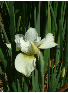 Iris sibirica 'Dreaming Green'