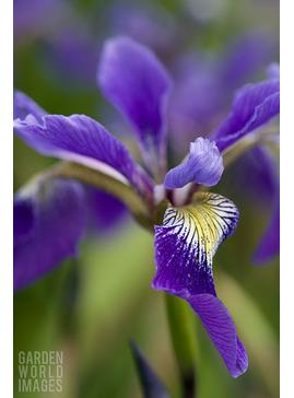 Iris x robusta 'Dark Aura'