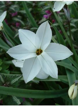 Ipheion uniflorum 'White Star'