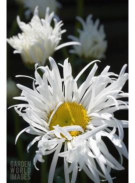 Leucanthemum x superbum 'Phyllis Smith'