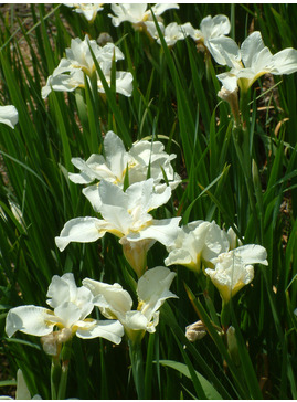 Iris sibirica 'White Swirl'
