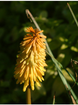 Kniphofia 'Bee's Sunset'