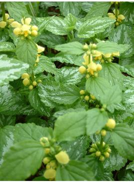 Lamium galeobdolon subsp. montanum 'Florentinum'