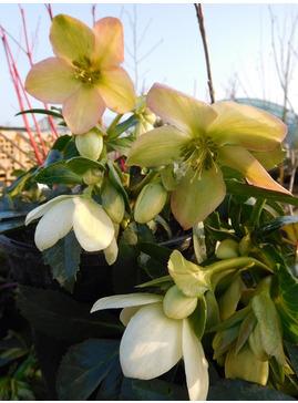 Helleborus x nigercors 'Winter Passion'