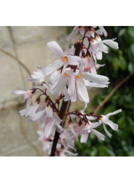 Abeliophyllum distichum 'Roseum'