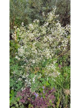 Thalictrum delavayi Splendide White