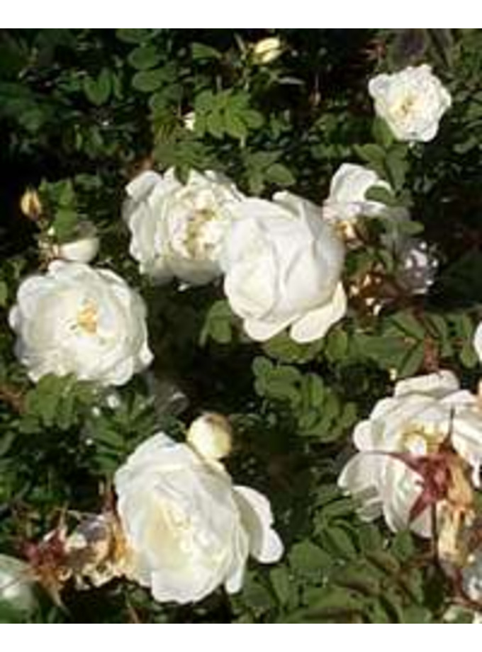 Rosa spinosissima double white flowered the beth chatto gardens rosa spinosissima double white flowered mightylinksfo Gallery
