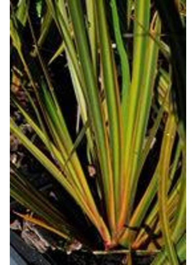 Libertia ixioides 'Tricolor'