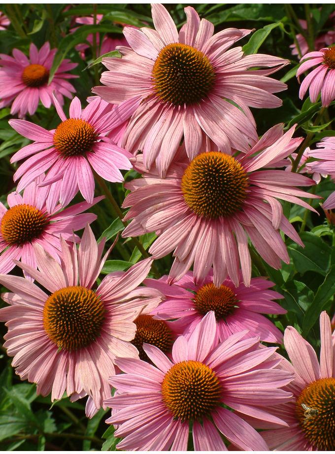 echinacea purpurea 39 magnus 39 the beth chatto gardens. Black Bedroom Furniture Sets. Home Design Ideas