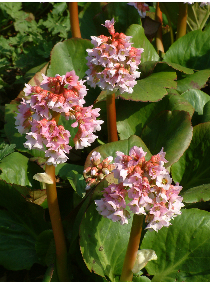 Bergenia Baby Doll The Beth Chatto Gardens