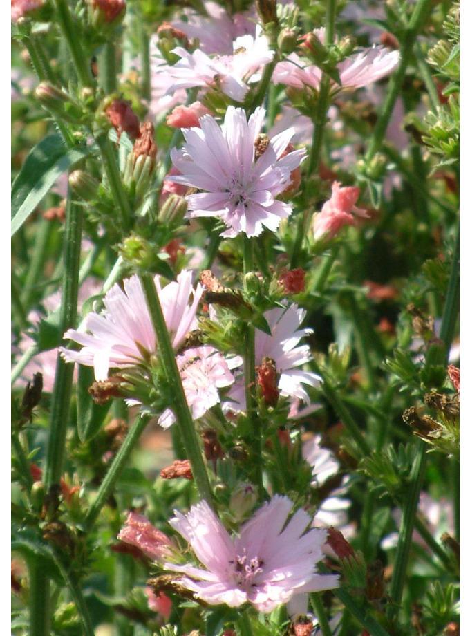 Cichorium intybus 'Roseum'