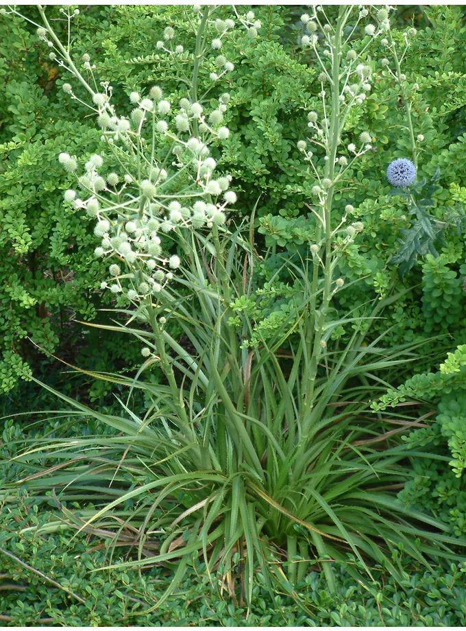 Eryngium eburneum (bromelifolium)
