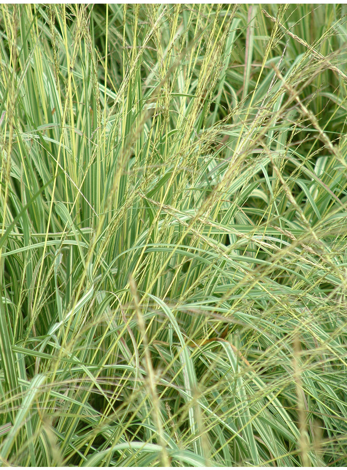 Molinia caerulea 39 variegata 39 the beth chatto gardens for Short variegated grass