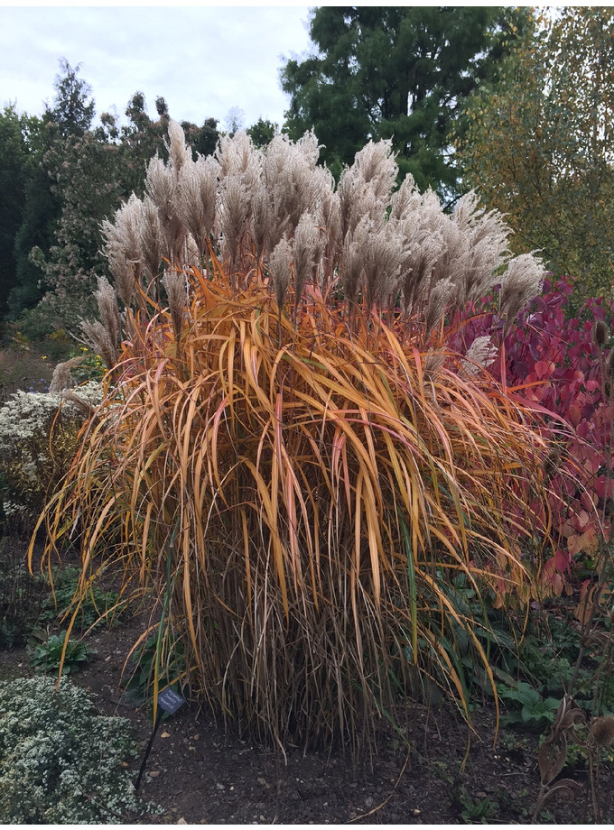 miscanthus sinensis malepartus the beth chatto gardens. Black Bedroom Furniture Sets. Home Design Ideas