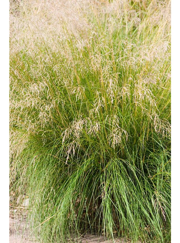eragrostis curvula the beth chatto gardens