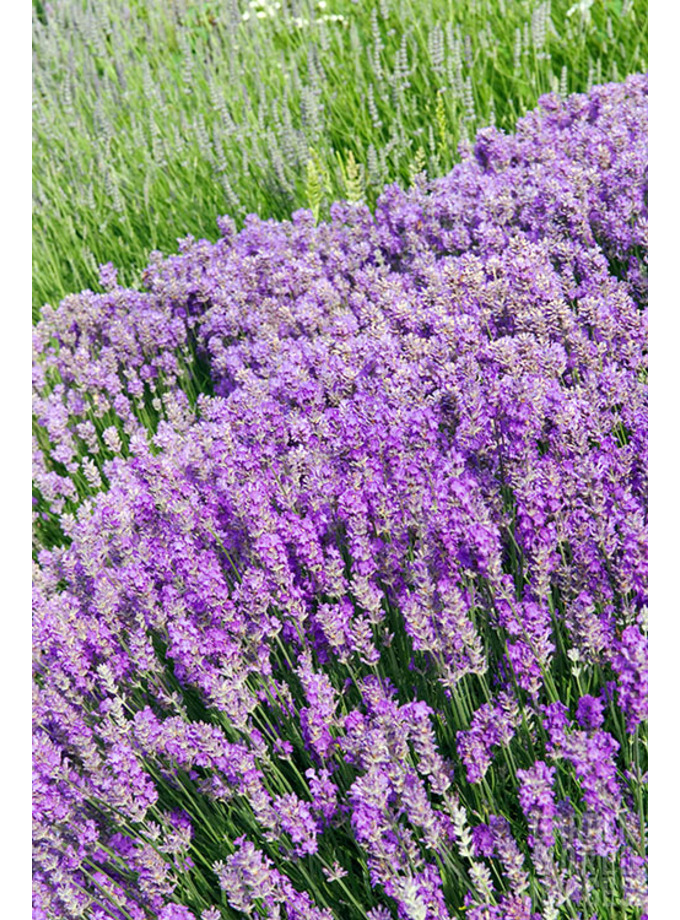 lavandula angustifolia munsted the beth chatto gardens. Black Bedroom Furniture Sets. Home Design Ideas