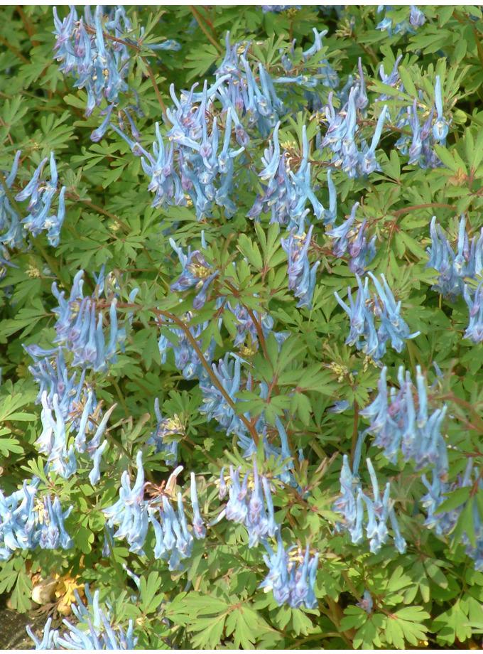 Corydalis flexuosa 'Pere David'